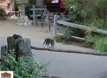 Wild Cat in Big Thunder Ranch