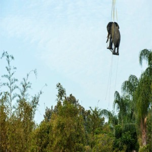 Elephant Being Lifted In Place By Helicopter Close Up