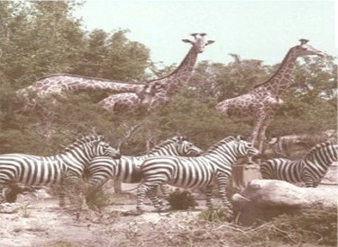 Giraffes and Zebras