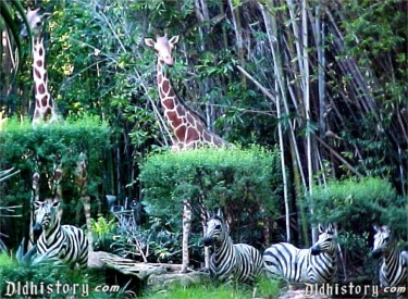 Giraffes and Zebras In African Veldt